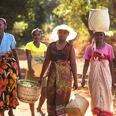 Imagen mujeres recolectando plantas